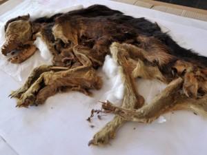 Hallan perros momificados del siglo XV en Pachacámac