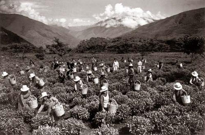 Martin-Chambi-Cosecha-de-Te-en-la-Hacienda-Amaibamba