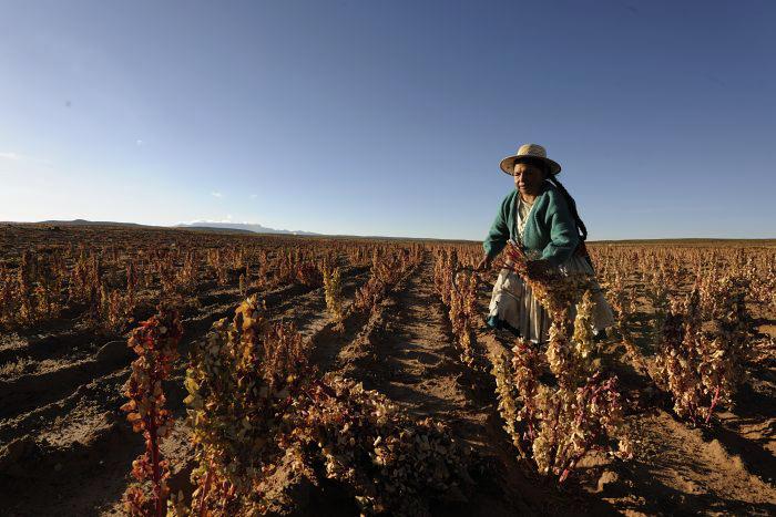 Quinoa, el alimento de los incas